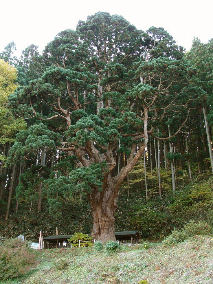 cedar trees and tourism terms